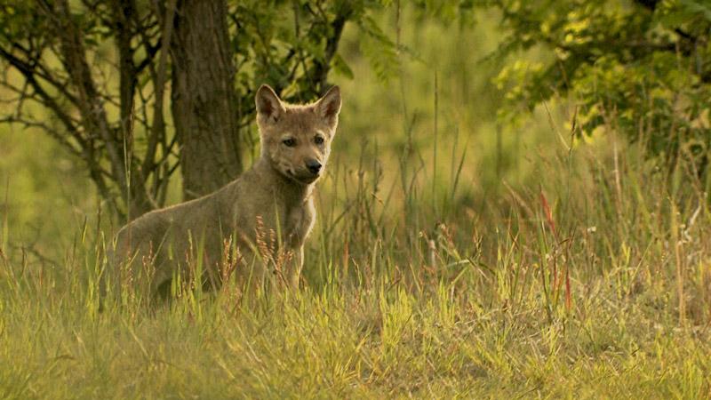 Erst 6 Wochen alt - und schon allein unterwegs! Ein Wolfswelpe im Biosphärenreservat Oberlausitzer Heide- und Teichlandschaft.