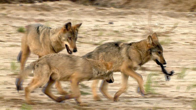 Eine ein Jahr und vier Monate alte junge Wölfin des Nochtener Rudels spielt als Babysitterin mit ihren ein Jahr jüngeren Geschwistern.